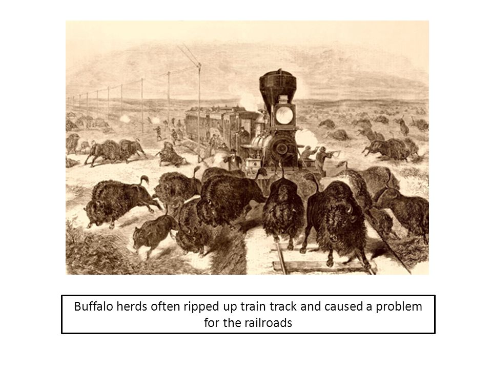 Buffalo herds often ripped up train track and caused a problem for the railroads