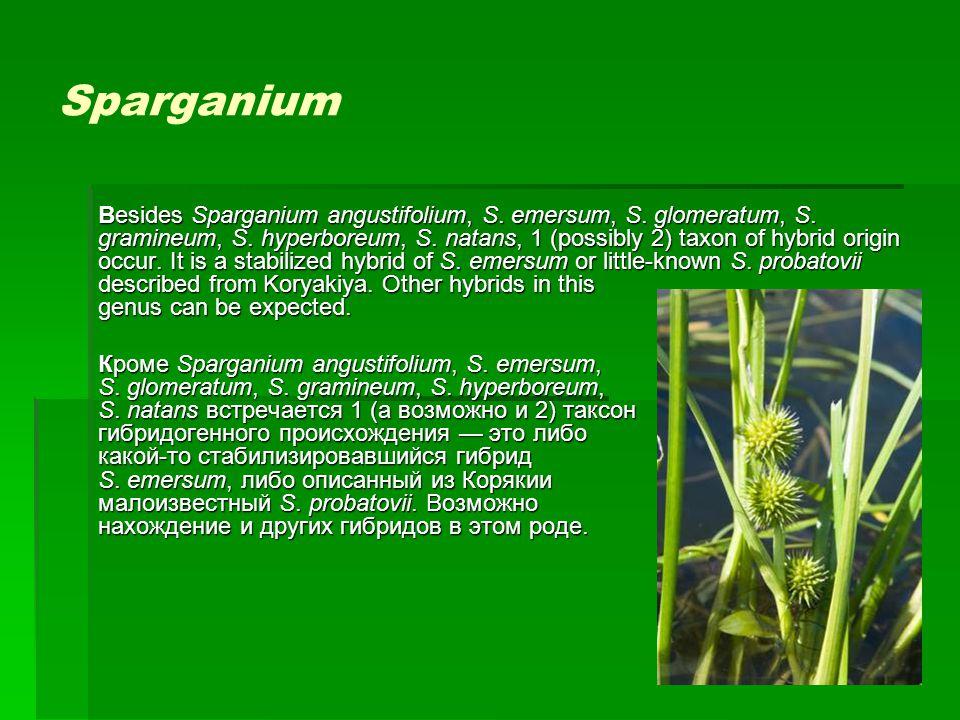 Sparganium