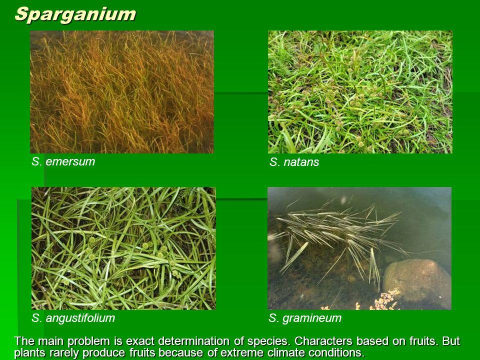 Sparganium S. emersum S. natans S. angustifolium S. gramineum