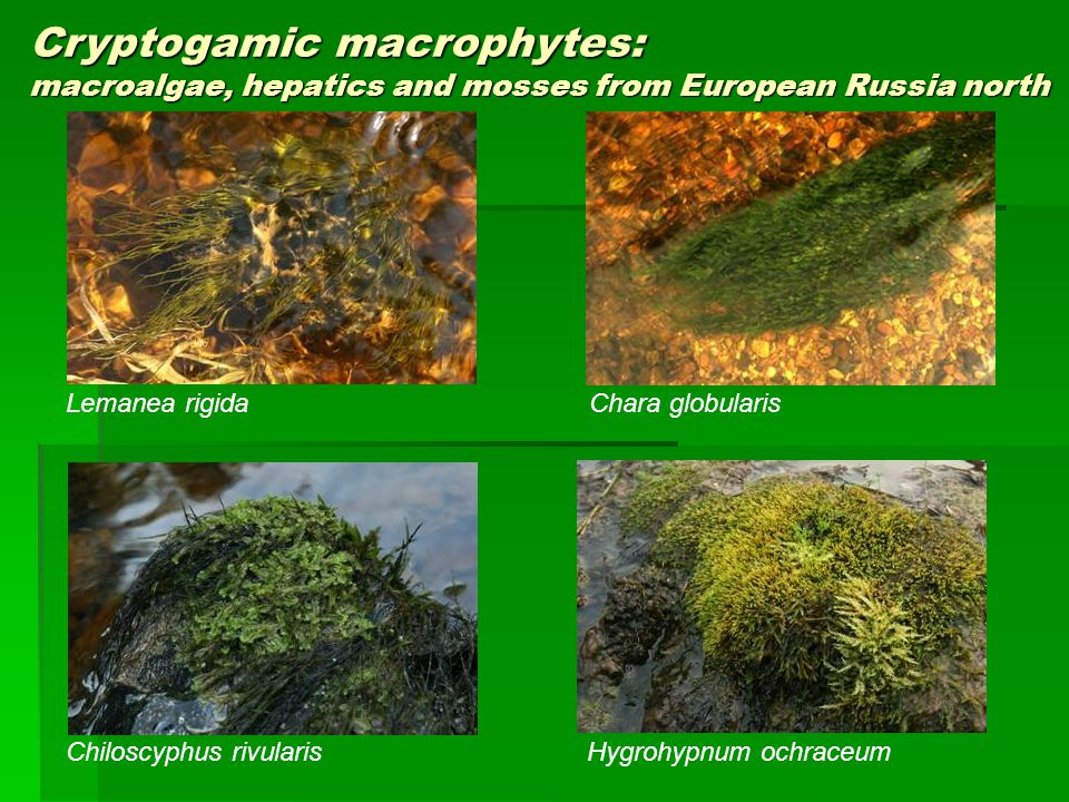Cryptogamic macrophytes: macroalgae, hepatics and mosses from European Russia north