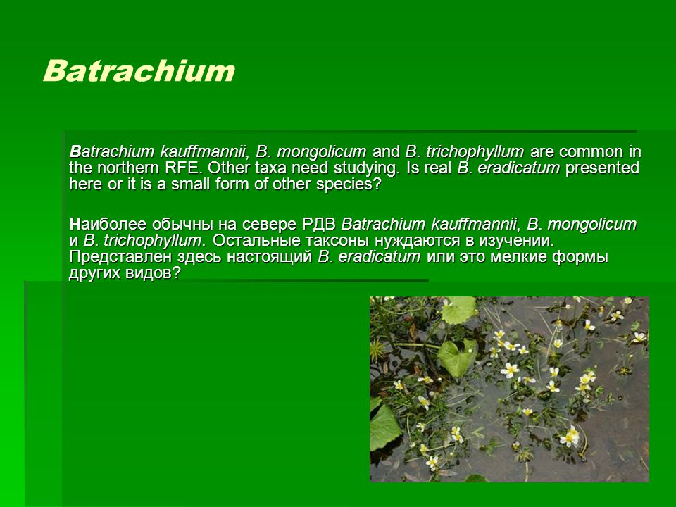 Batrachium