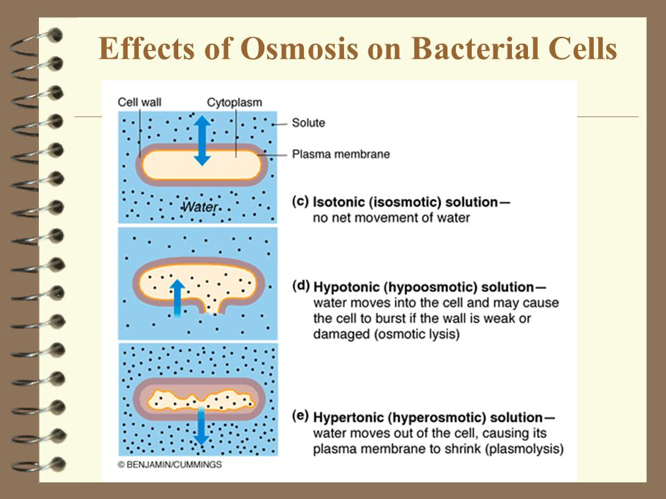 Effects of Osmosis on Bacterial Cells