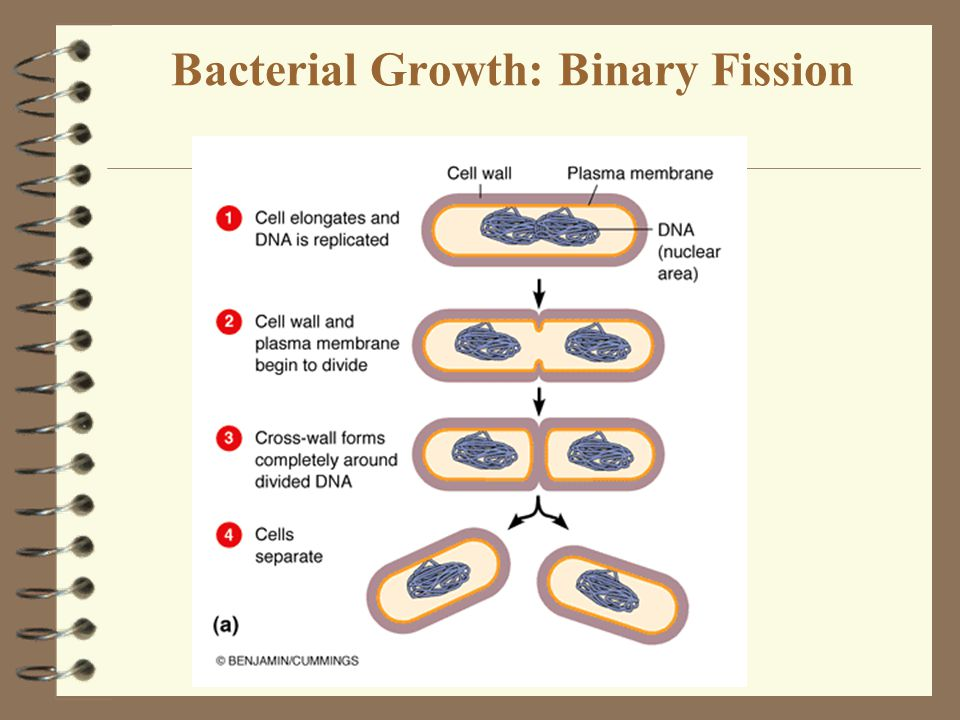 Bacterial Growth: Binary Fission