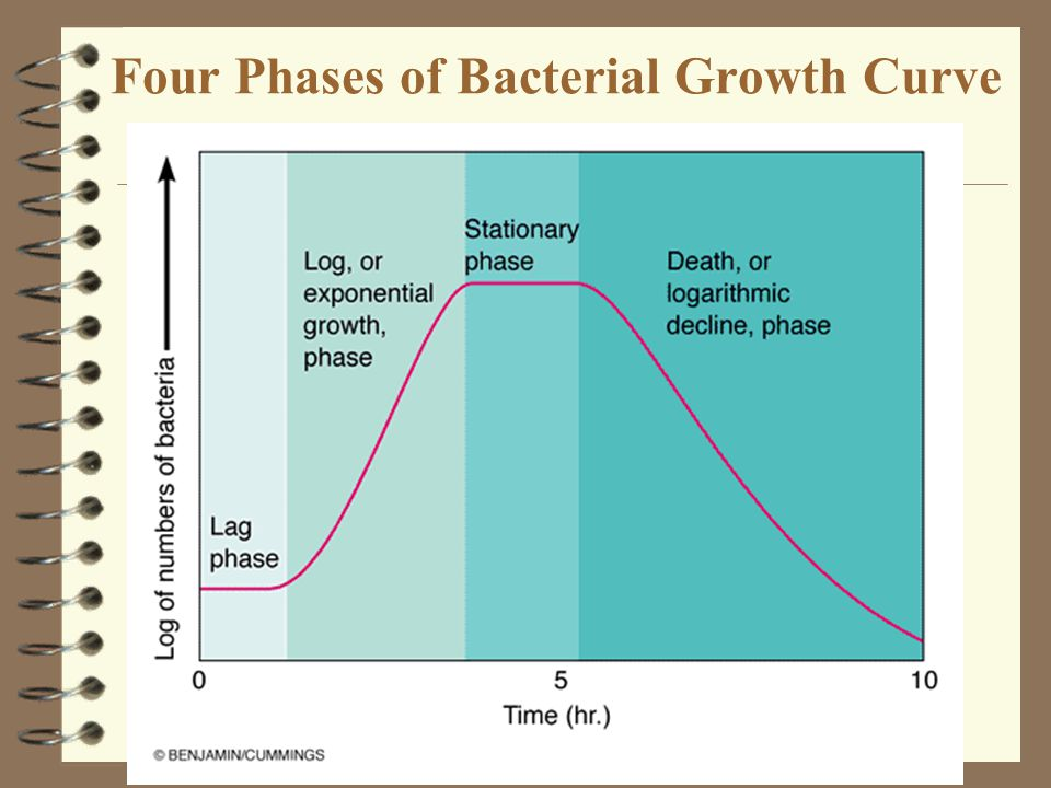 Four Phases of Bacterial Growth Curve