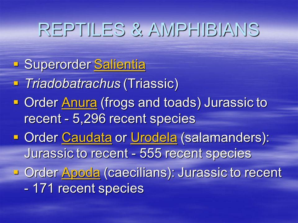 REPTILES & AMPHIBIANS Superorder Salientia Triadobatrachus (Triassic)