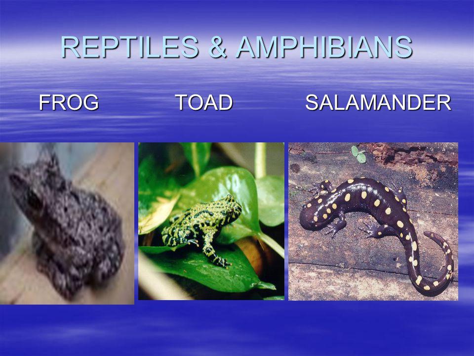 REPTILES & AMPHIBIANS FROG TOAD SALAMANDER