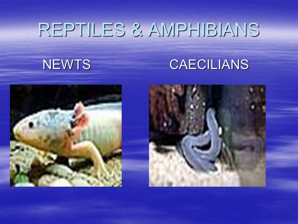 REPTILES & AMPHIBIANS NEWTS CAECILIANS