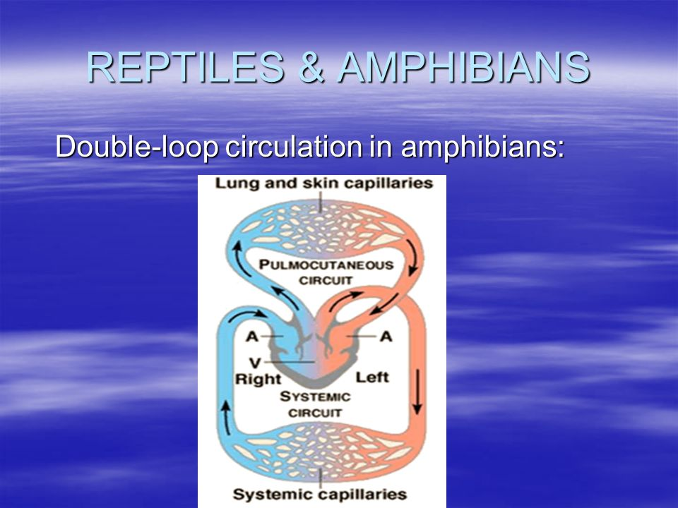 REPTILES & AMPHIBIANS Double-loop circulation in amphibians: