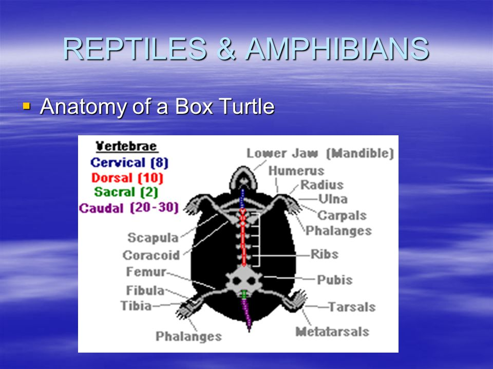 REPTILES & AMPHIBIANS Anatomy of a Box Turtle