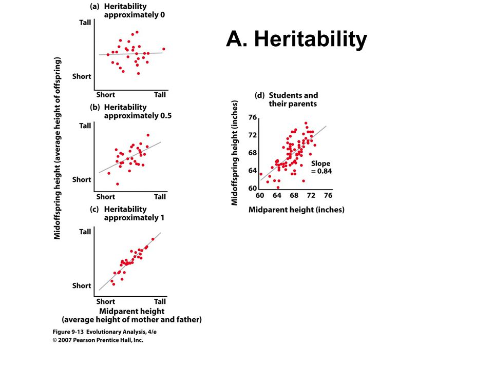 A. Heritability Figure 9.13 Scatterplots showing offspring height as a function of parent height.