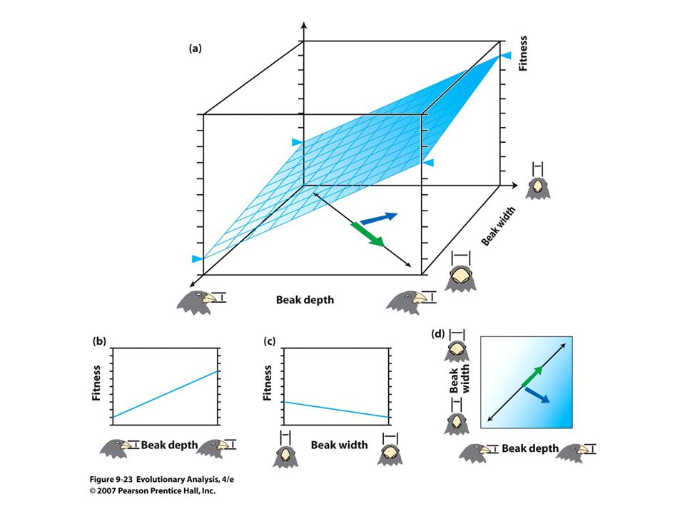 Figure 9.23 A multidimensional analysis of selection on beak size in medium ground finches
