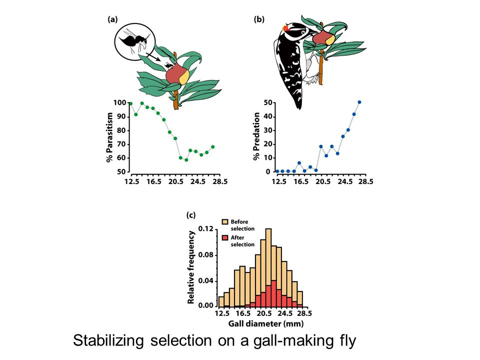 Stabilizing selection on a gall-making fly
