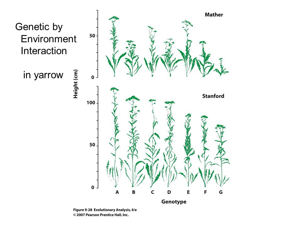 Genetic by Environment Interaction in yarrow