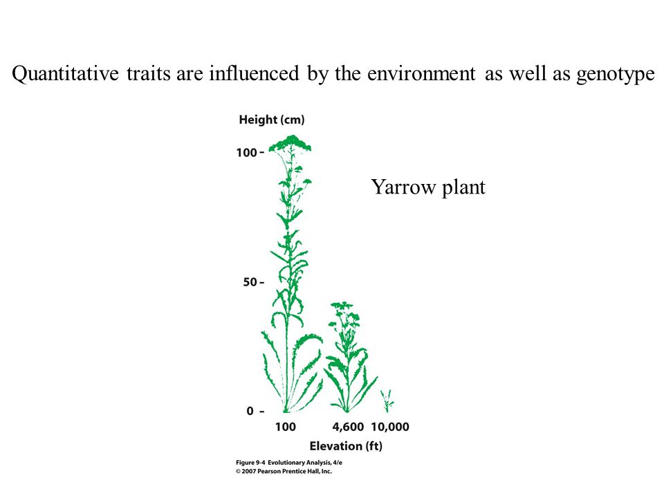 Quantitative traits are influenced by the environment as well as genotype