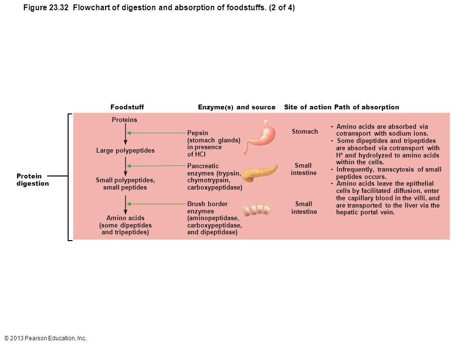 Figure 23. 32 Flowchart of digestion and absorption of foodstuffs