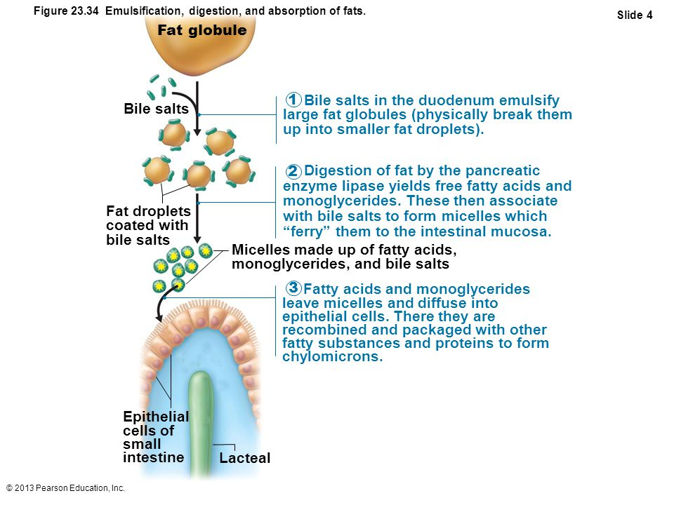 with bile salts to form micelles which