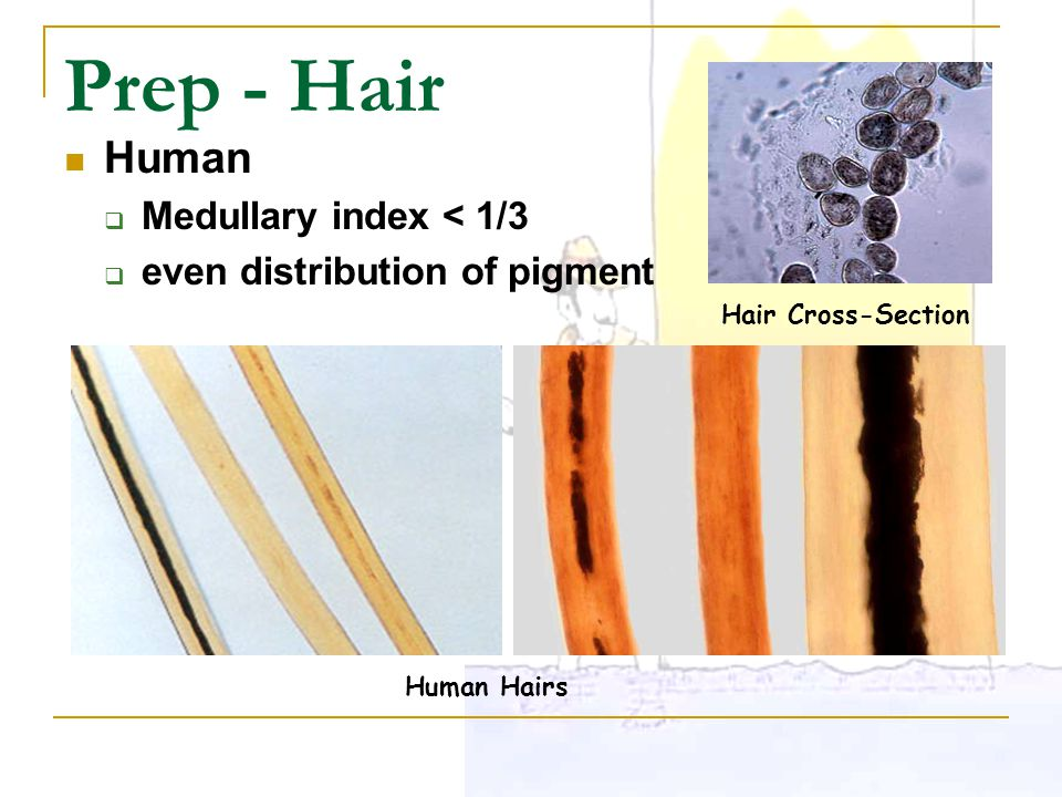 Prep - Hair Human Medullary index < 1/3