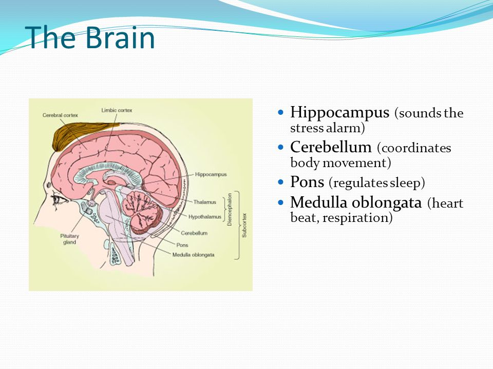The Brain Hippocampus (sounds the stress alarm)