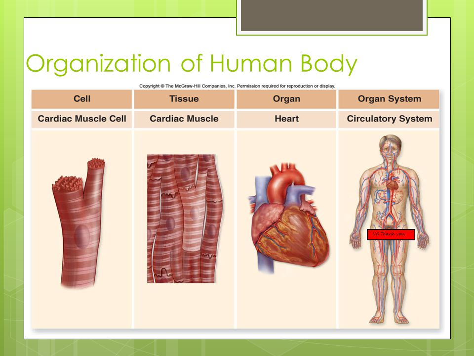 Organization of Human Body