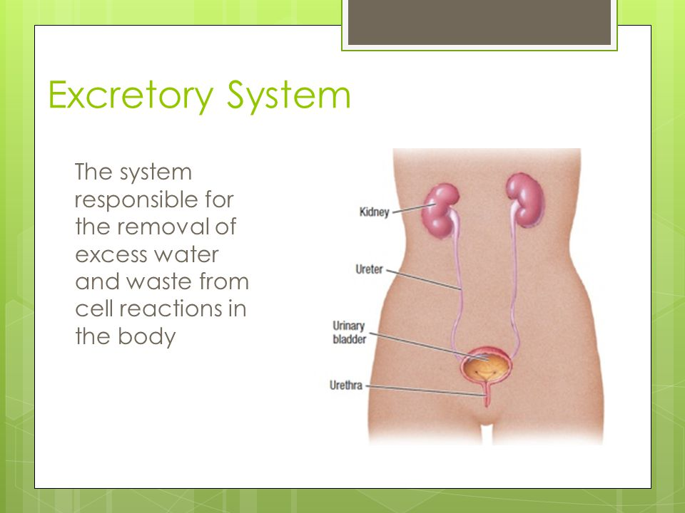 Excretory System The system responsible for the removal of excess water and waste from cell reactions in the body.