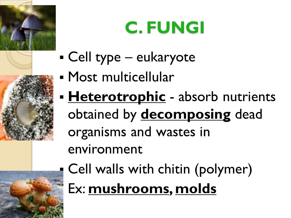 C. FUNGI Cell type – eukaryote Most multicellular