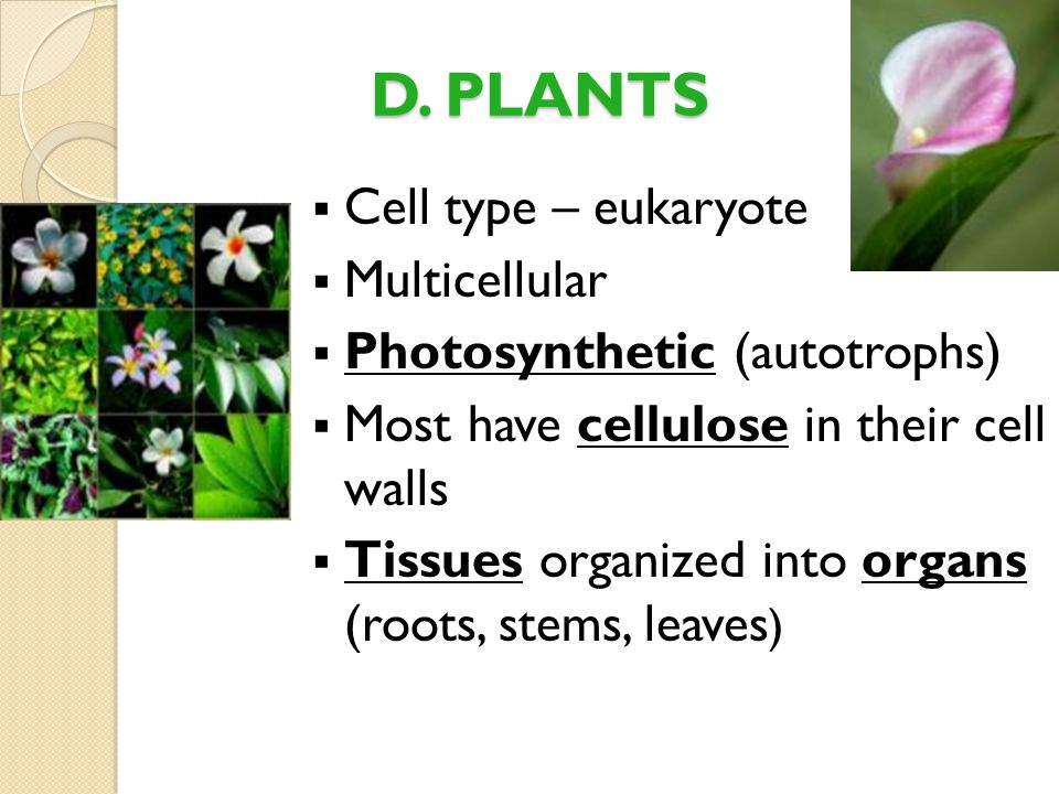 D. PLANTS Cell type – eukaryote Multicellular