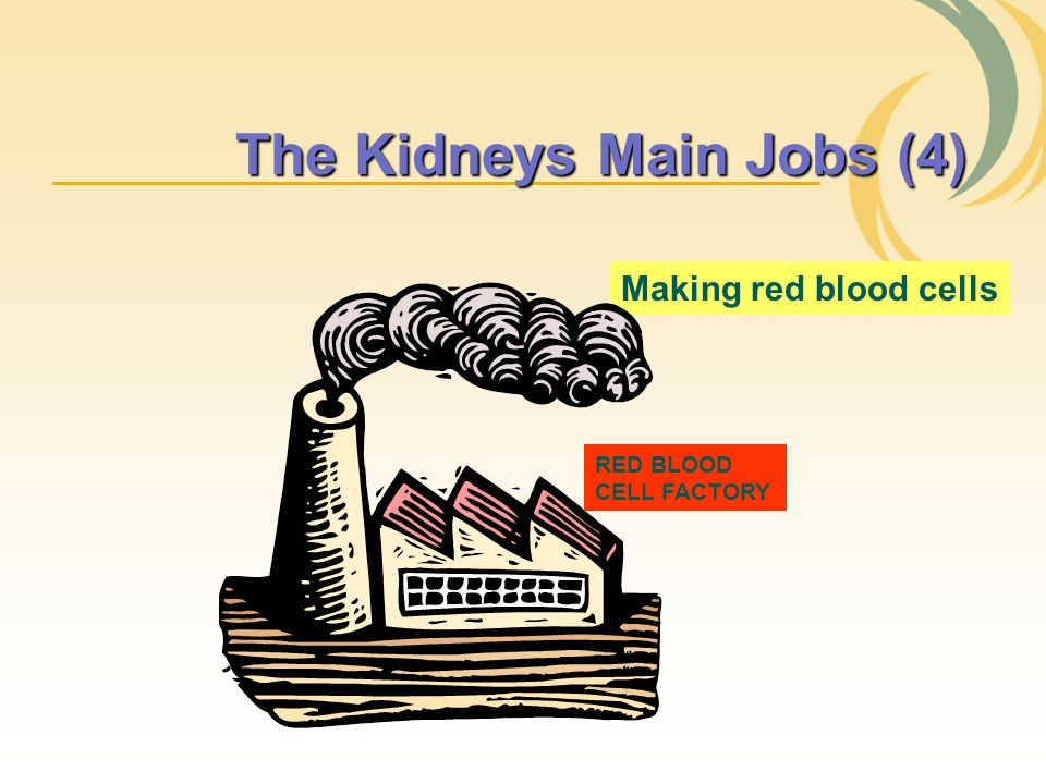 The Kidneys Main Jobs (4)