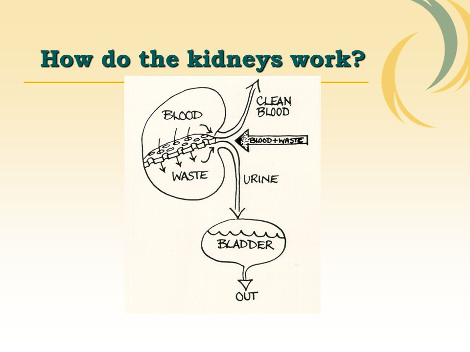 How do the kidneys work