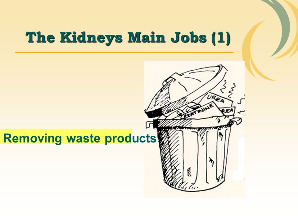 The Kidneys Main Jobs (1)