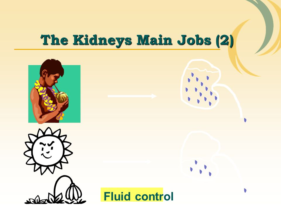 The Kidneys Main Jobs (2)