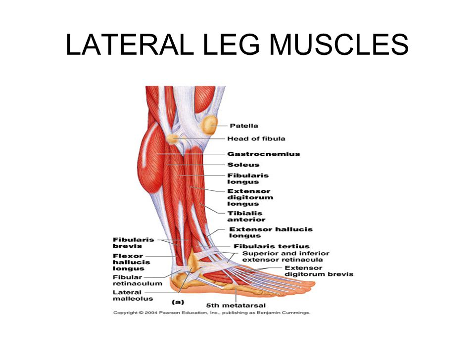 LATERAL LEG MUSCLES