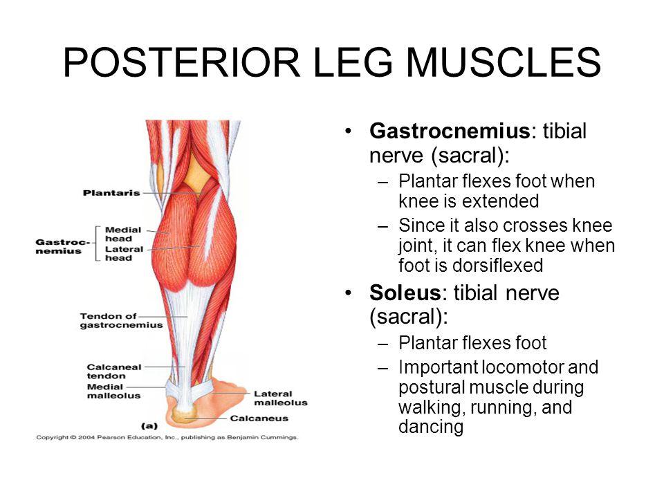 POSTERIOR LEG MUSCLES Gastrocnemius: tibial nerve (sacral):