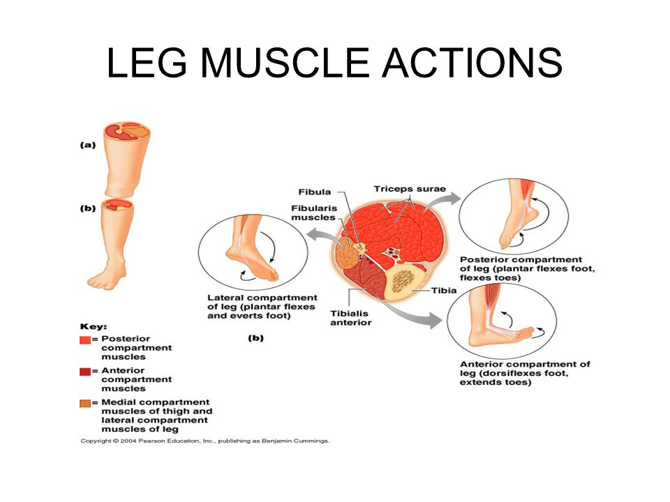 LEG MUSCLE ACTIONS