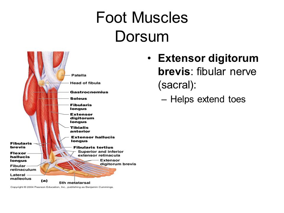 Foot Muscles Dorsum Extensor digitorum brevis: fibular nerve (sacral):