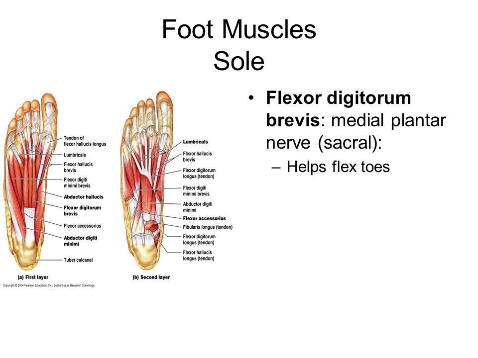 Foot Muscles Sole Flexor digitorum brevis: medial plantar nerve (sacral): Helps flex toes