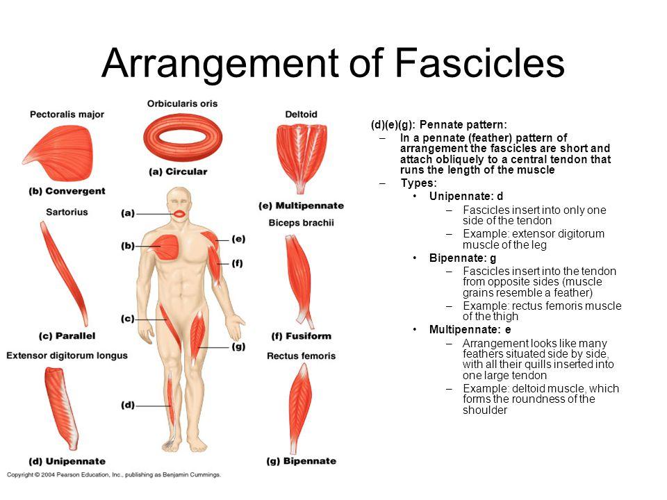 Arrangement of Fascicles