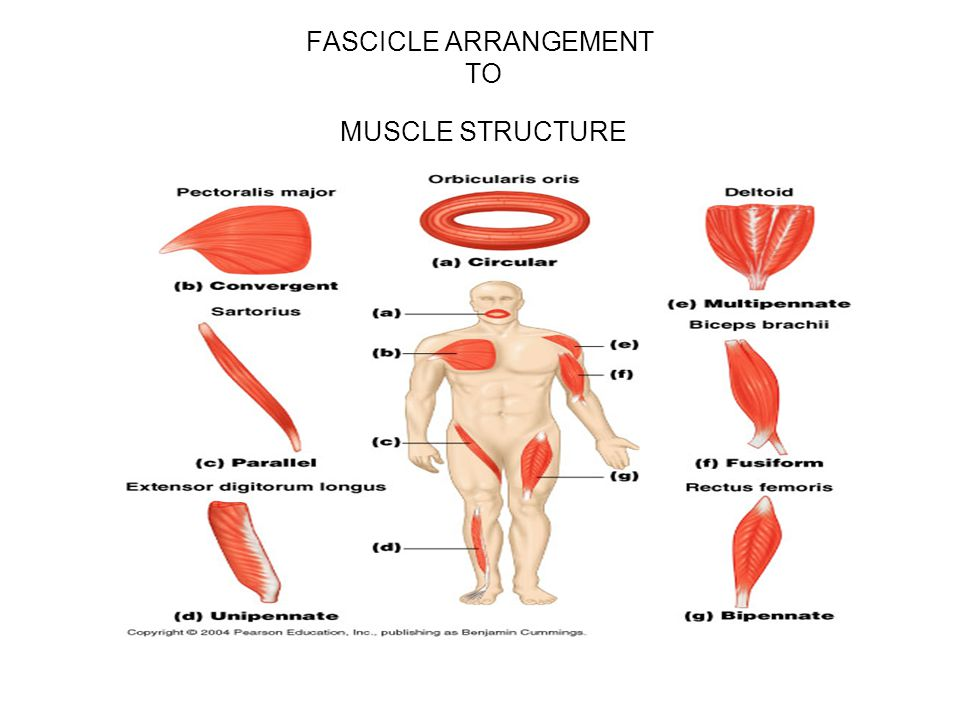 FASCICLE ARRANGEMENT TO MUSCLE STRUCTURE