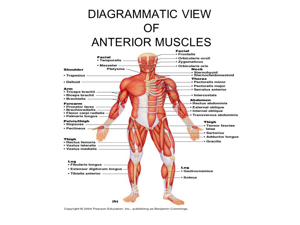 DIAGRAMMATIC VIEW OF ANTERIOR MUSCLES