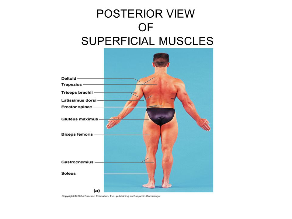 POSTERIOR VIEW OF SUPERFICIAL MUSCLES