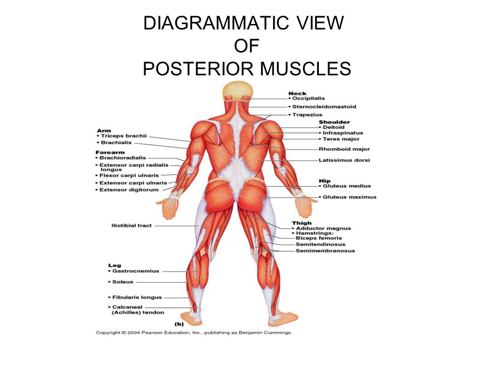 DIAGRAMMATIC VIEW OF POSTERIOR MUSCLES