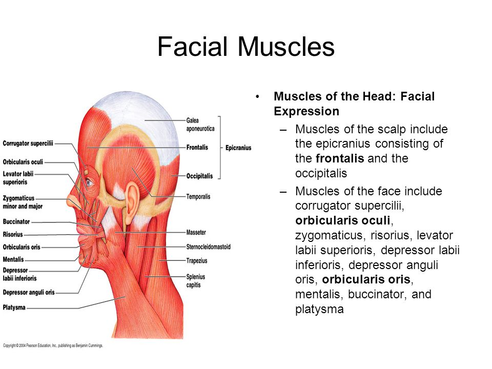 Facial Muscles Muscles of the Head: Facial Expression