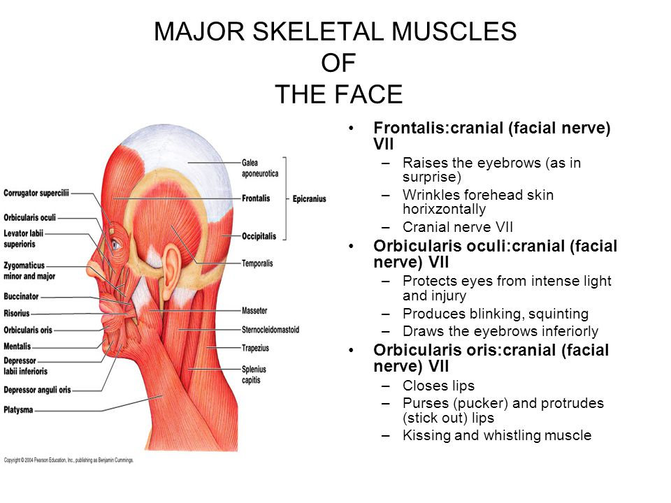 MAJOR SKELETAL MUSCLES OF THE FACE