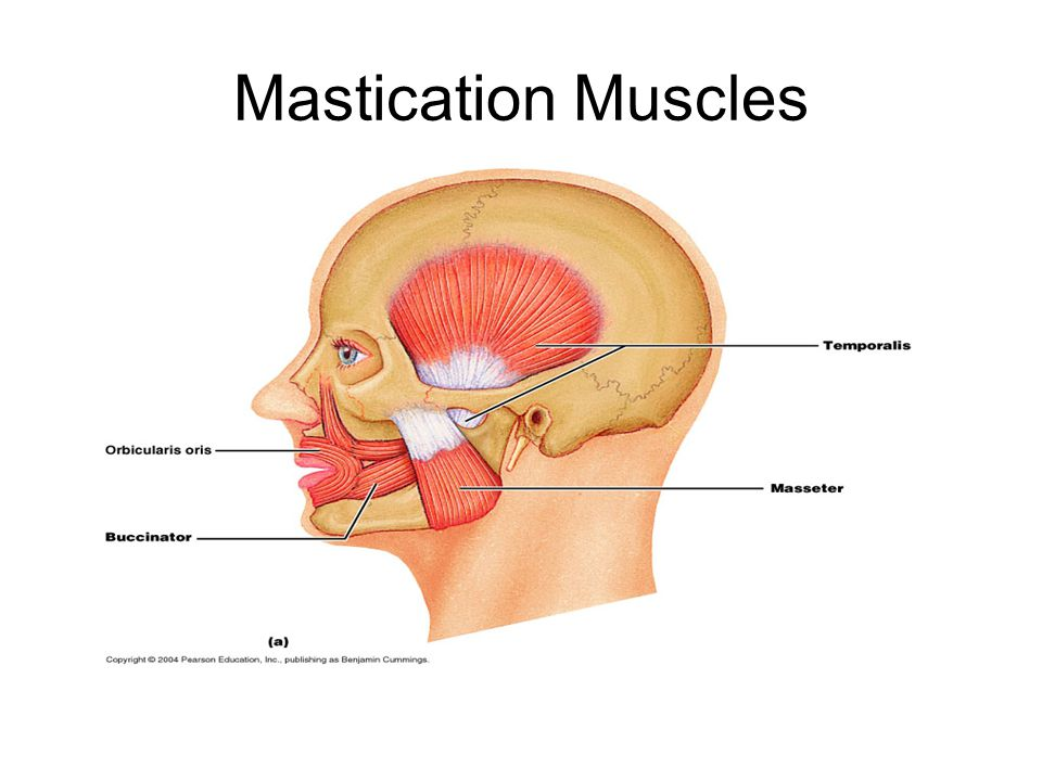 Mastication Muscles