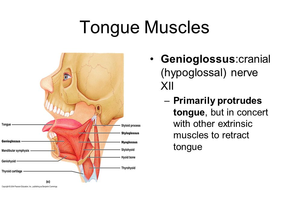 Tongue Muscles Genioglossus:cranial (hypoglossal) nerve XII