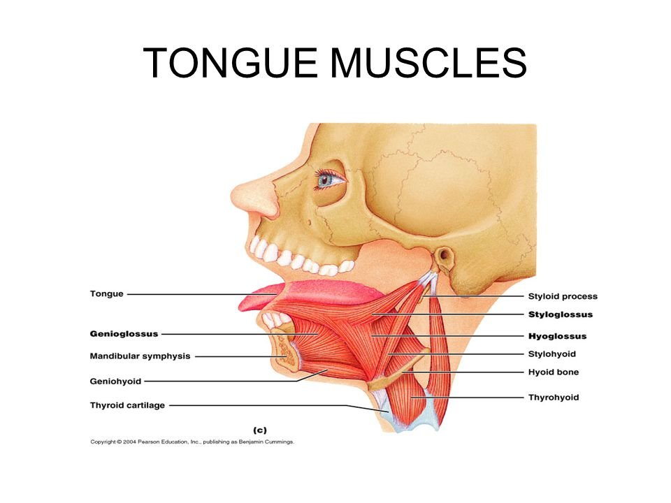 TONGUE MUSCLES