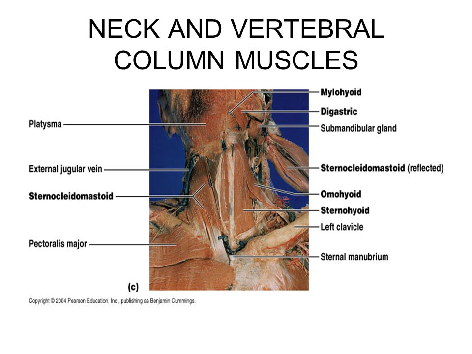 NECK AND VERTEBRAL COLUMN MUSCLES