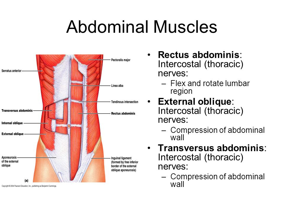 Abdominal Muscles Rectus abdominis: Intercostal (thoracic) nerves: