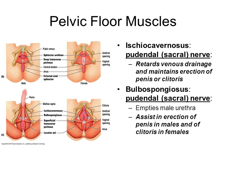 Pelvic Floor Muscles Ischiocavernosus: pudendal (sacral) nerve: