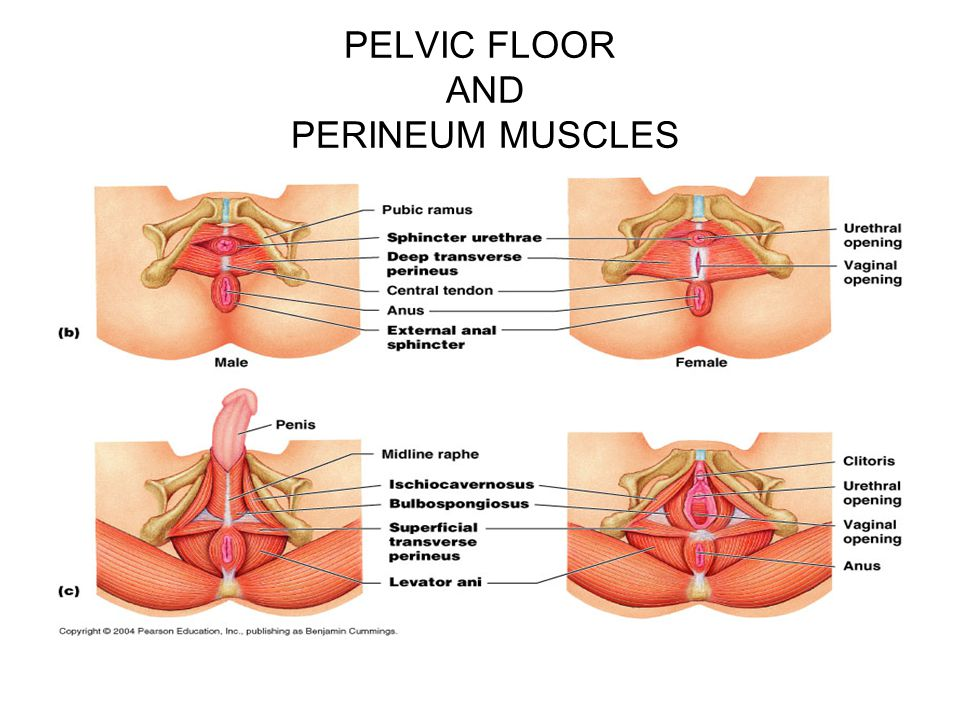 PELVIC FLOOR AND PERINEUM MUSCLES