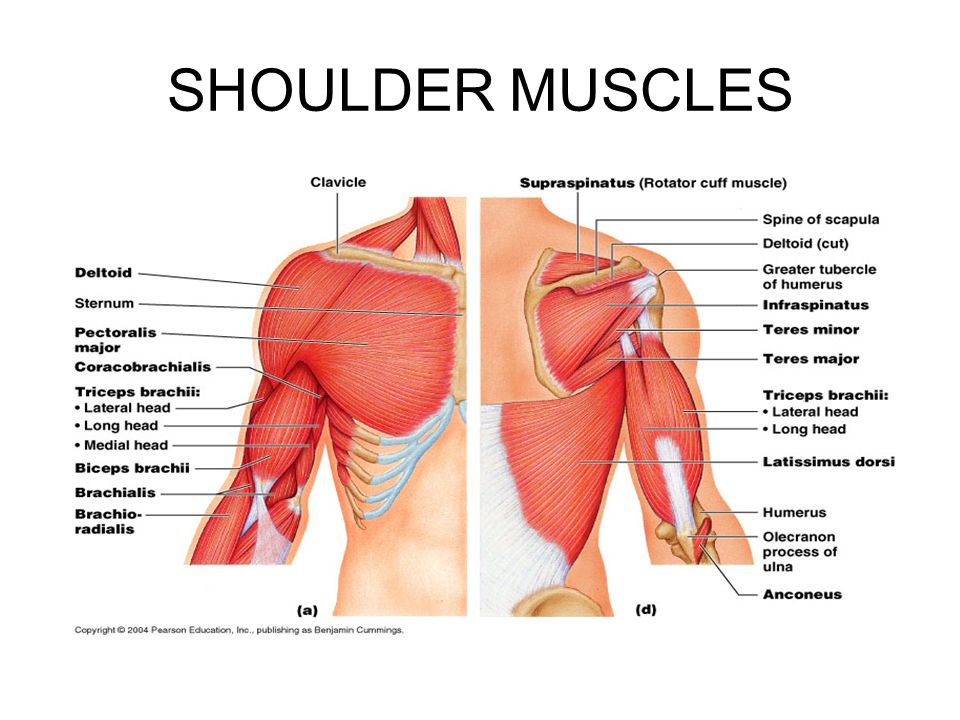 Shoulder and neck muscles anatomy